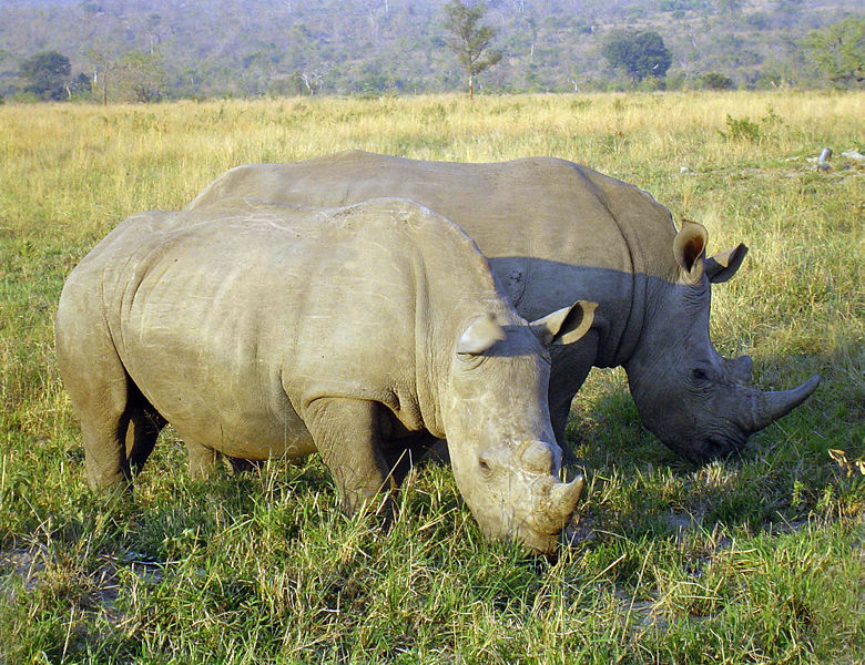 White Rhino